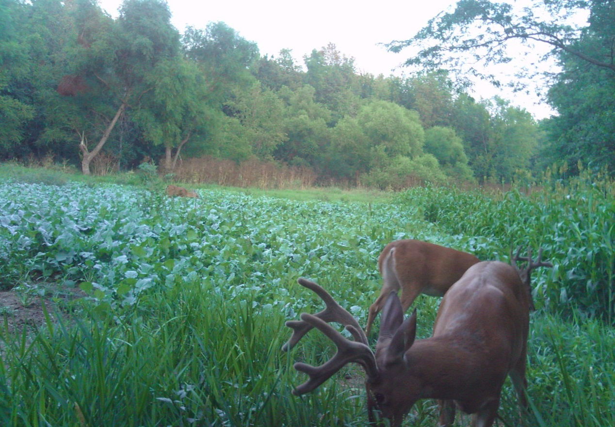Growing the best Whitetail Food Plots